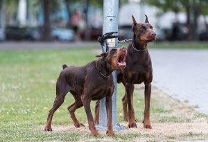 Two chained doberman dogs in the park