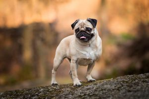 Why Are Pugs Known As Less Intelligent