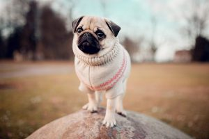 Why Pugs Are The Worst?