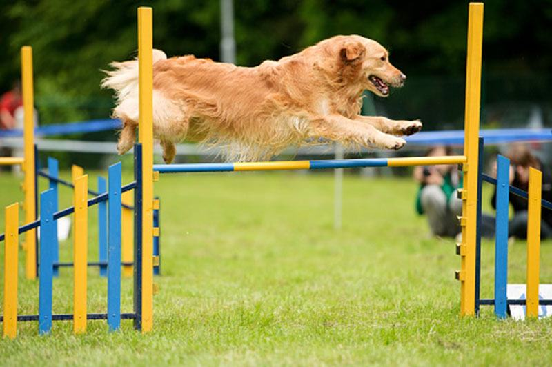 You can make adult Golden Retriever perform more intense exercises