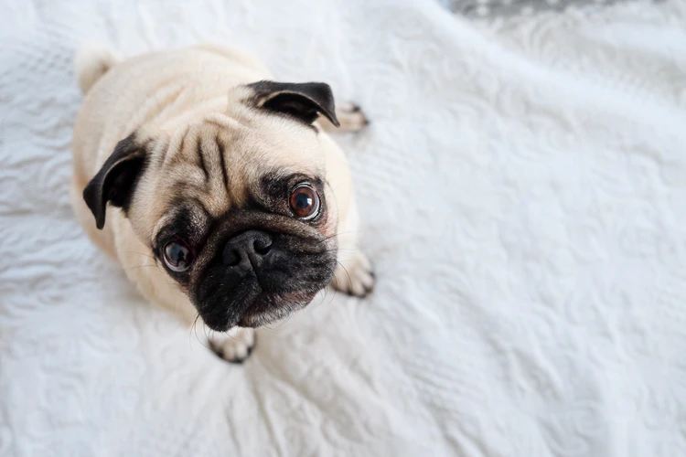 Can A Pug Stay Alone For 8 Hours?