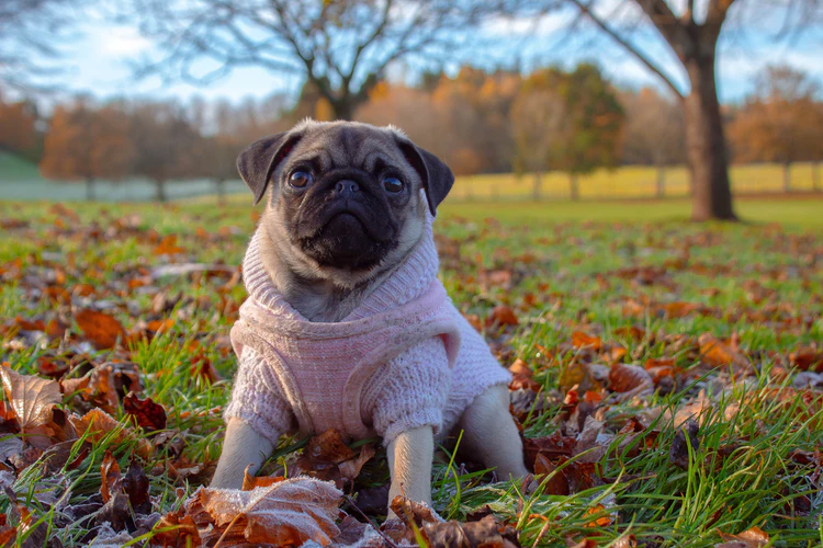 Occasionally, a Pug adores staying alone without your companionship
