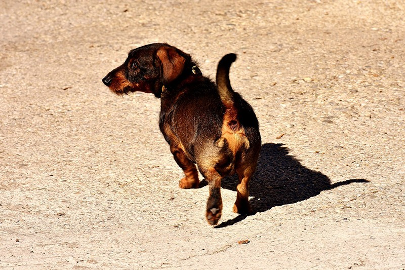 A Healthy Dachshund Enjoys A Moderate Amount of Running Daily