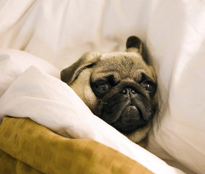 A Sick Pug Dog