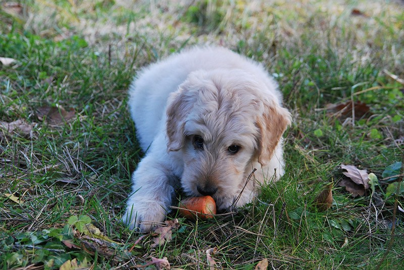 Dog Eat Carrot