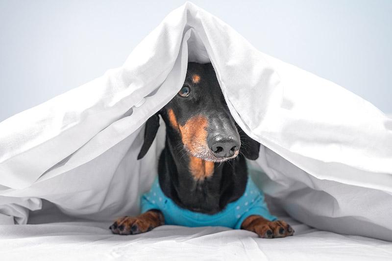 Funny dachshund in blue pajamas just woke up