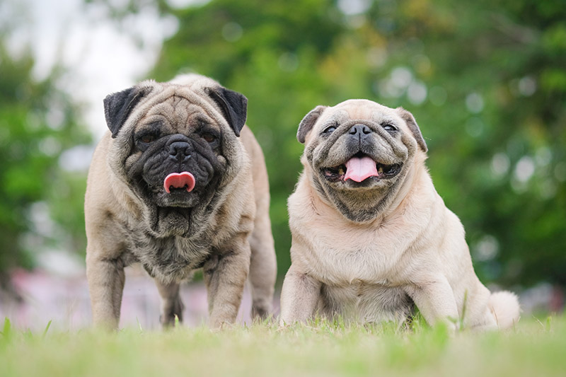 are pugs the dumbest dogs