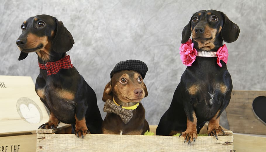 Get Your Dachshund Some Friends