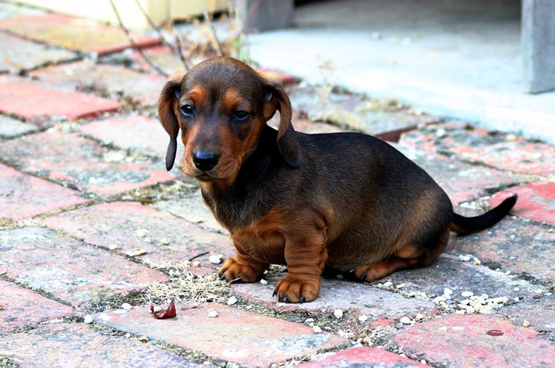 Yes, your dachshunds can be left alone.