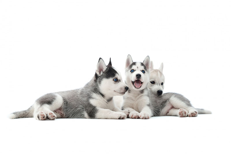 You should train Huskies when they are still puppies.