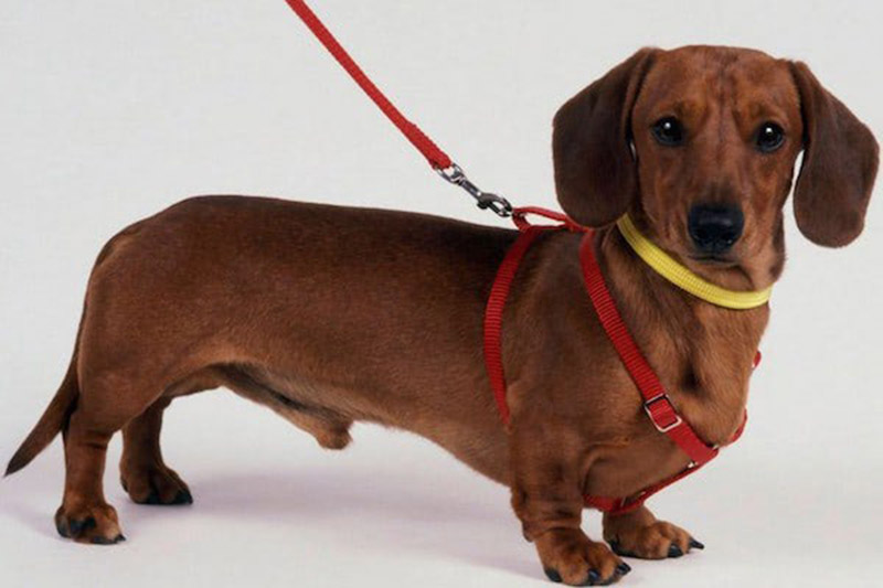 Are dachshunds easy to train indoors?