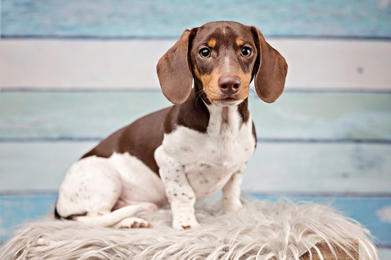 Why Dachshunds Are The Worst Breed