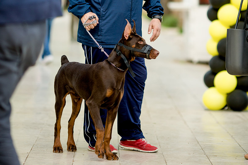 Doberman dog standing while man is holding him on dog chain.