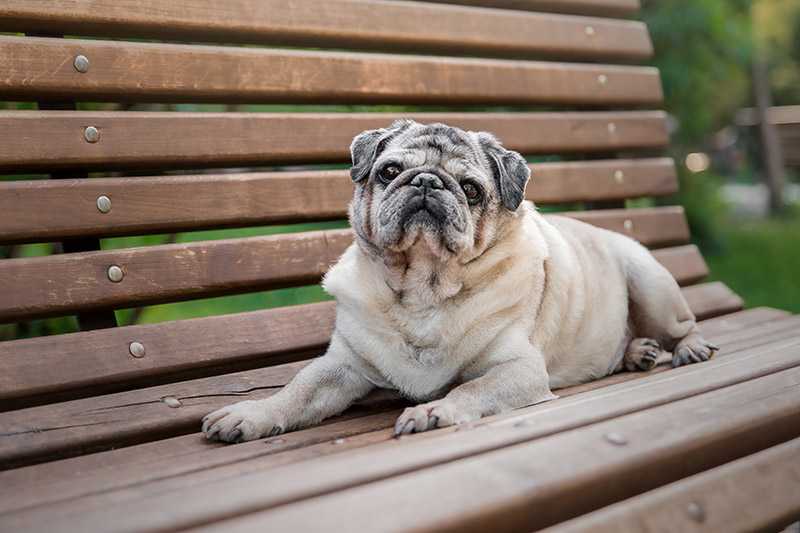 How old is the oldest pug